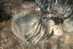 снимка на корени, врастнали се в камък и го разяждат