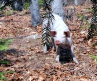 Загубеното прасе може да се доближи без страх на 3-4 метра от хора.