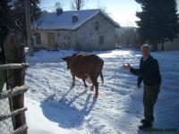 Бай Оги с любимата крава